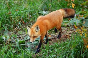 Autumn Fox by Sagittor