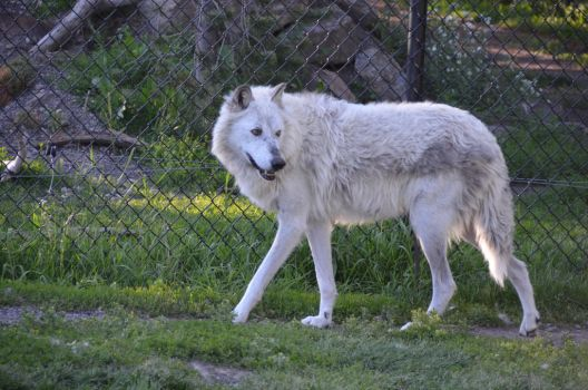 White Wolf 12 by liorelysia