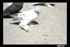 pigeon by mufash