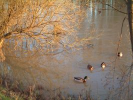 Ducks on the Seine by madko