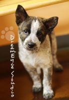 Shelter brindle Heeler mix AVAILABLE pup Glen Rose by DreamEyce