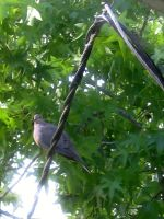 dove on a telephone wire by thatskaterkid