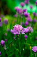 Chive by DajaWinter