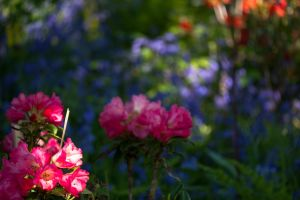 Rhodedenrons and Bluebells in June Argyll by amyhooton