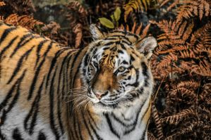 The Siberian Tiger by SindreAHN
