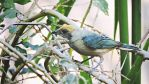 Burnished-buff Tanager by Cassiaa