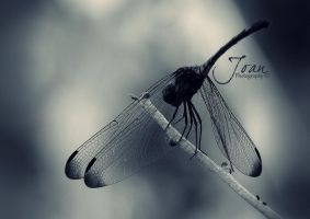 Dragonfly Close up 2 by JDaVanim