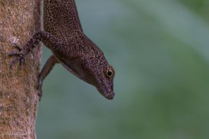 Crested Anole head shot by CyclicalCore