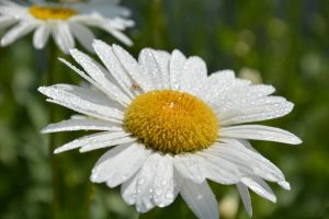 wet daisy by TomKilbane