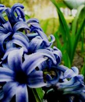 Blue hyacinth by Gabijooota