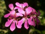 Geranium I by savagescience