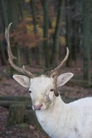 White Deer 4 by gaothaire