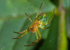 Pumpkin Spider by Satriver