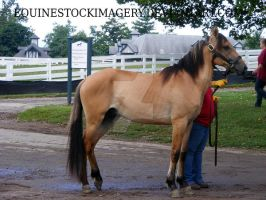 Kiger Mustang 8 by EquineStockImagery