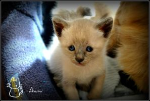 Aww siamese Kitten by javitops