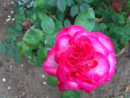 pink large rose by plainordinary1