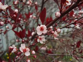 Pink Spring Blossom by Pentacle5