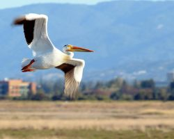 American White Pelican by FeralWhippet