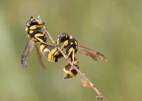 Odynerus spinipes? by buleria