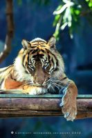 Tiger_9770 by SkyeMarree