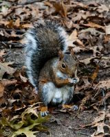 Squirrel by photoman356