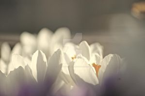 White Crocus III by TheBirdsFeathers