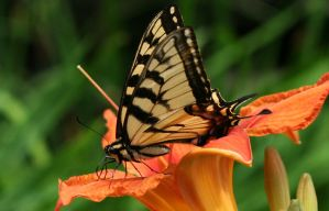 Swallow Tail by lapointe