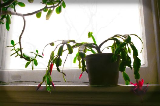 Christmas Cactus 45th Street by akachrismorgan