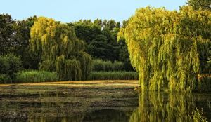 Weeping willow by Nemaiah