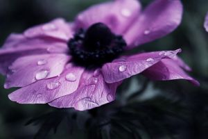 anemone in the rain by hv1234