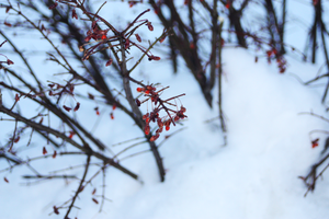 WinterBerry by KenielOdoms