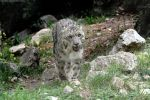 snow leopard 003 by neverFading-stock
