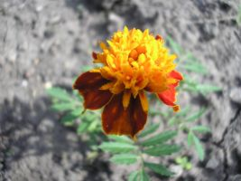 Tagetes by PrismTank
