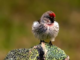 Arctic Redpoll 06 by nordfold