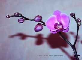 Phalaenopsis Orchid :ii: by R3D777