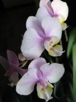 Pink Orchid flowers by Critterinthedryer