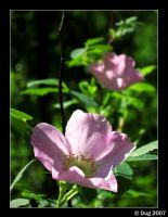 Pink Flower by dugonline