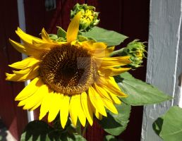 Day 27 - Daily Sunflower Pictures by Tails-155