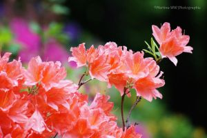 Rhododendron 6 by Martina-WW