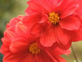 Dahlias by LoveMusic210