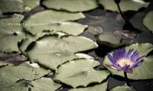 Lily pads by frankrizzo