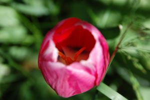 Tulips IV by ByronGiant