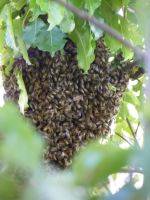 Swarming Bees by bwall49
