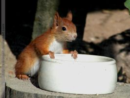 young european red squirrel by KIARAsART