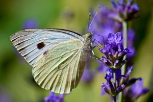 cabbage white butterfly by addi1948