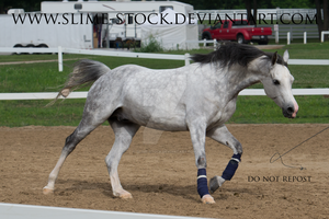 gray arabian extended canter by slime-stock