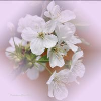 cherry blossoms by SvitakovaEva