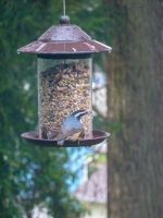 Red-breasted Nuthatch by DanikaMilles