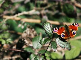 Peacock Butterfly by Geater