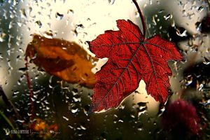 The red leaf on my window by pacificdreams